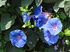 Ipomoea purpurea, Common Morning Glory, native of Mexico