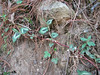 Persicaria capitata, Lukla 2800m-Monjo 2900m
