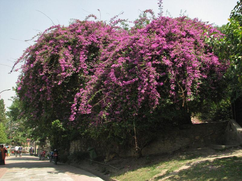 Bougainvillea glabra, native to Brazil