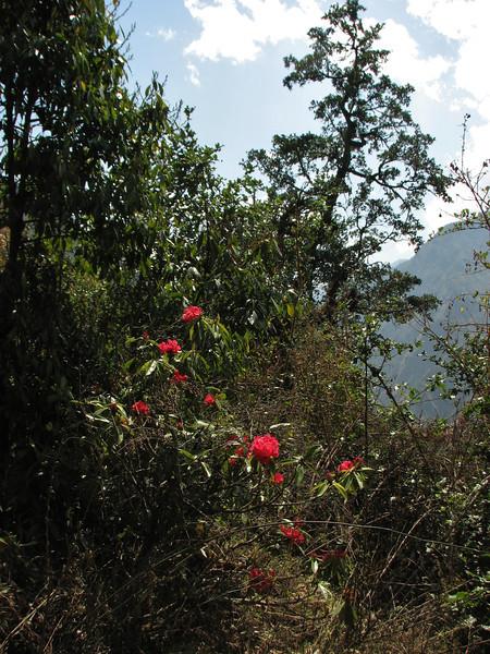 Rhododendron spec.
