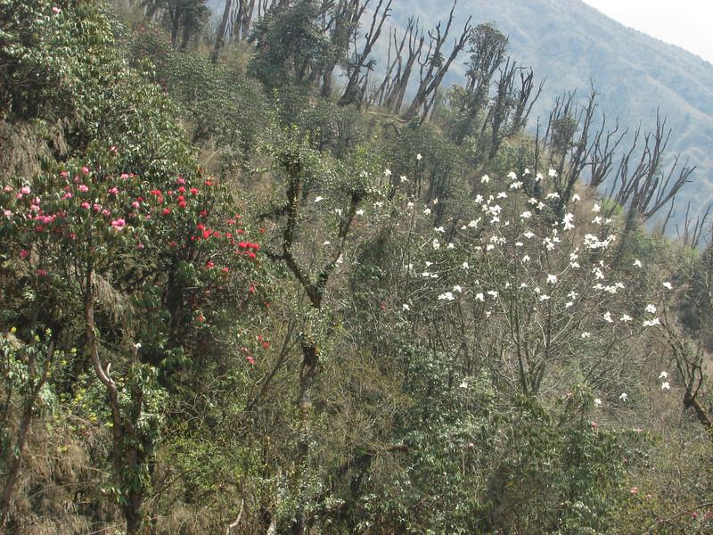 Magnolia campbellii and Rhododendron arboreum