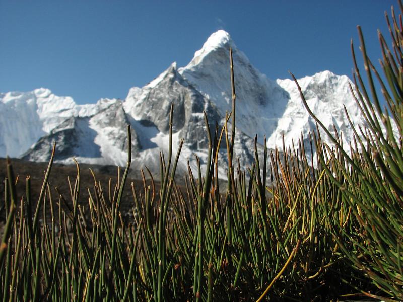 Ephedra gerardiana, Chhukung 4780m