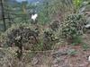 Cotoneaster microphyllus, Lukla 2800m-Monjo 2900m