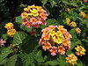 Lantana camara, native to South America, Kathmandu 1300m