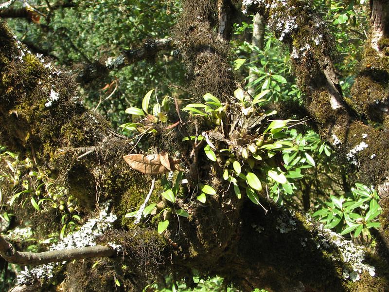 Epiphytic Orchid habitat
