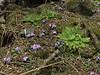 Primula gracilipesis and rosettes of Meconopsis paniculata, Kharka 4150m-Kothe 3700m  [identification by Pam Eveleigh, Primula World Canada]