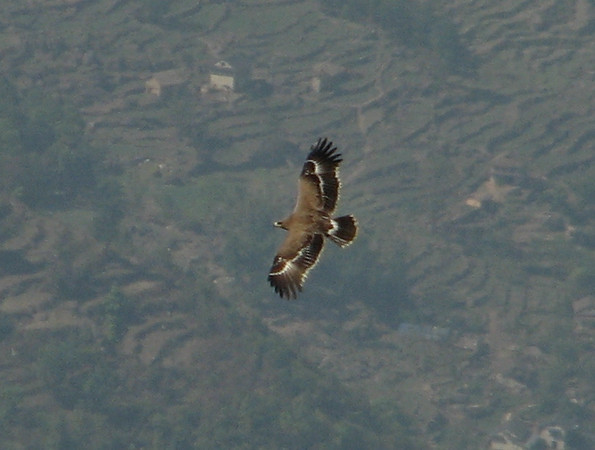 Aquila nipalensis juv.