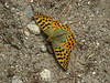 Issoria lathonia, (NL: kleine parelmoervlinder) Queen of Spain Fritillary,  Deboche 3650m-Namche Bazaar 3450m