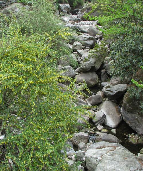 Berberis cf. ceratophylla,  Namche Bazaar 3450m-Phakding 2650m