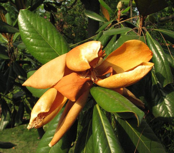Magnolia grandiflora, out of flower, Kathmandu 1300m