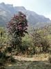 Habitat of Rhododendron arboreum,  Najing 2600m-Chalem Kharka 3450m
