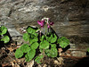 Primula rotundifolia