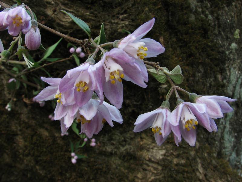 Deutzia bhutanensis, Buthan Deutzia, Phakding 2650m-Lukla 2800m