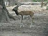Antelope cervicapra, Black-buck (native to Nepal)
