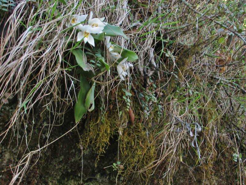 Coelogyne corymbosa, Lukla 2800m-Monjo 2900m