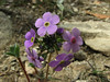 Androsace sarmentosa, Lukla 2775m