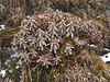 Rhododendron??  Kharka 4150m