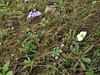 Androsace sarmentosa, Phakding 2650m-Lukla 2800m