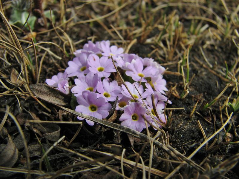 Primula denticulata, near Chhukung 4780m