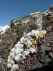 Hippolytia gossypina, syn. Tanacatum gossypinum. Chhukung 4780m-Island Peak base camp 5000m