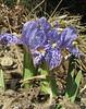 Iris kemaonensis, Monjo 2900m-Namche Bazaar-Tengboche-Deboche 3630m