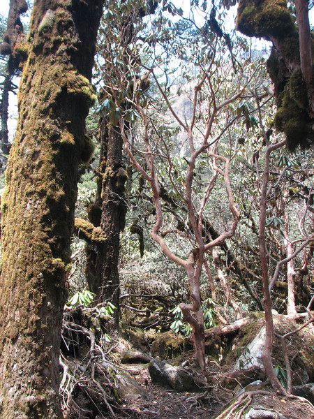 Trunks of Abies gamblei and Rhododendron spec