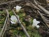 Primula deuteronata, white form, Kothe 3700m-Zatwrala 3800m