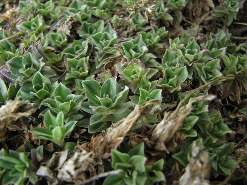 Gentiana cf. depressa (autumn flowering 9-11) Kothe 3700m-Tangnag 4300m
