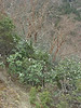 Rhododendron cf griffithianum and Betula utilis, Monjo 2900m-Namche Bazaar-Tengboche-Deboche 3630m