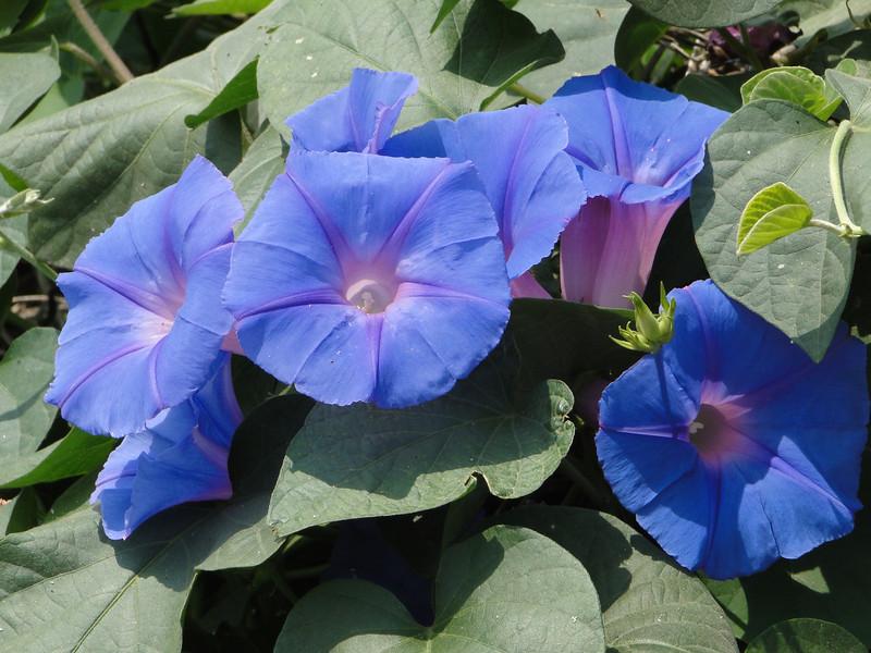 Ipomoea purpurea, Common Morning Glory, native of Mexico