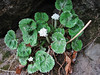 Primula rotundifolia, grows here at a dark place,  Zatwrala 3800m-Lukla 2800m [identification by Pam Eveleigh, Primula World Canada]