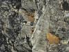 Arenaria polytrichoides,  Kharka 4150m