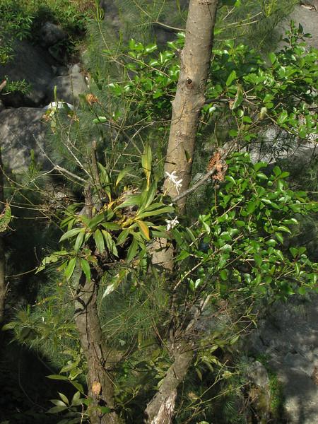 Coelogyne corymbosa, Phakding 2650m-Lukla 2800m