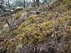 Sphagnum nepalense H. Suzuki, near  Deboche 3650m