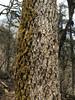 Abies spectabilis
