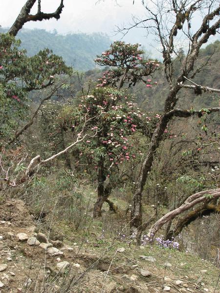 Rhododendron and Primula denticulata, Zatwrala 3800m-Lukla 2800m
