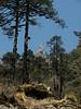 Matterhorn:-)) and Abies spectabilis, Kothe 3700m-Zatwrala 3800m