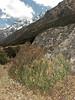 Ephedra gerardiana,  Kothe 3700m-Tangnag 4300m