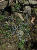 Gentiana pedicellata