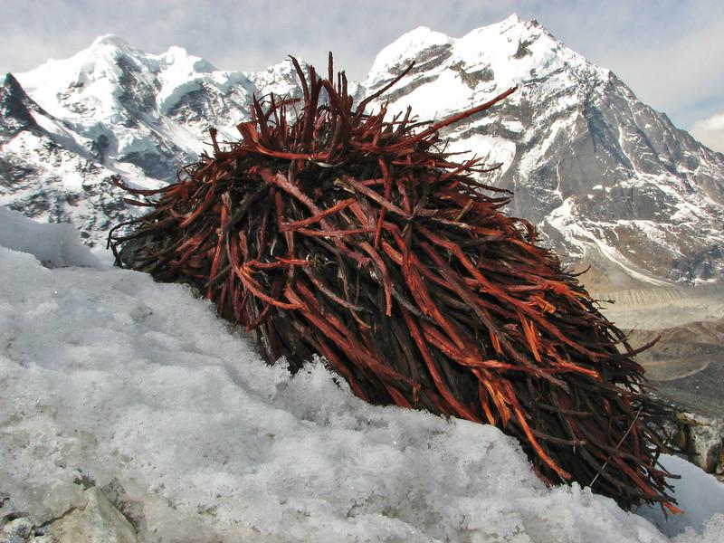 Rhodiola tibetica