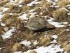 Tetraogallus tibetanus