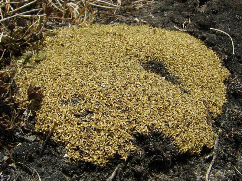 Arenaria globiflora