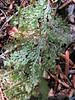 underside leaf ??  ,  Kharka 4150m-Kothe 3700m