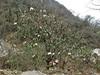 Rhododendron arboreum var. roseum,(undersite leaf, indumentum whitish), Zatwrala 3800m-Lukla 2800m