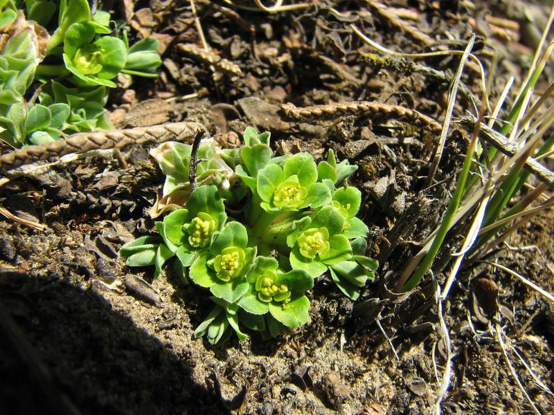 Euphorbia stracheyi, (starting with growing) Pangboche, Deboche 3630m-Pangboche-Chhukung 4780m