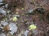 Meconopsis paniculata