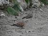 Steptopelia orientalis, Couple Oriental Turtle Dove