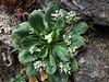 Arcyosperma primulifolium
