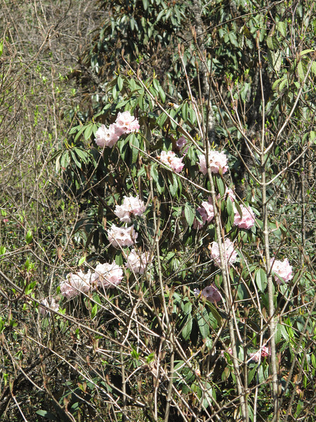 Rhododendron arboreum var. roseum,( undersite leaf, indumentum whitish) Puyan 2725m-Pangkongma 2850m