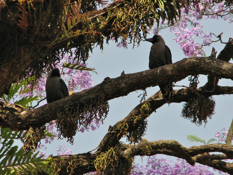 Corvus splendens, House Crow or Colombo Crow in Jacaranda mimosifolia tree, Kathmandu 1300m